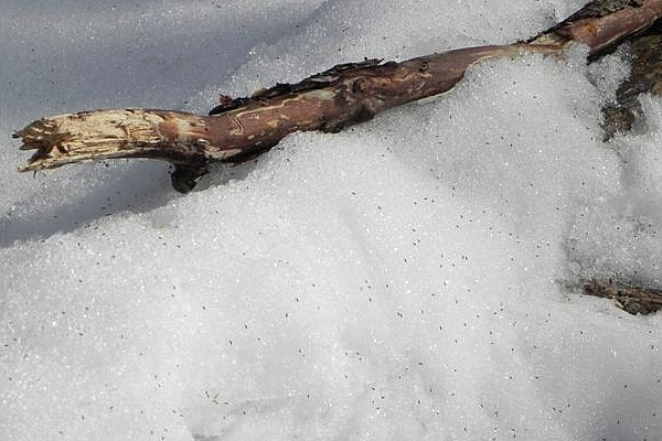 Snow fleas near a log (photo by Marianne Atkinson)