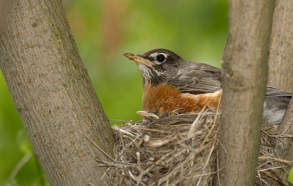 American robin on nest (photo by William Majoros on Wikimiedia Commons)