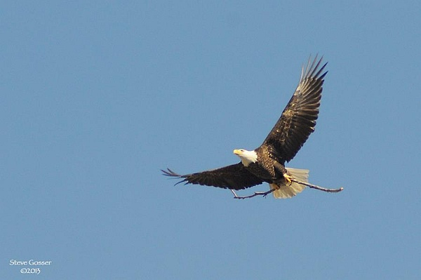 Harmar Bald Eagle carrying nesting material (photo by Steve Gosser)