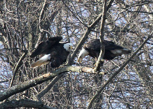 Bald eagle pair at Hays, Pittsburgh (photo by Tom Moeller)