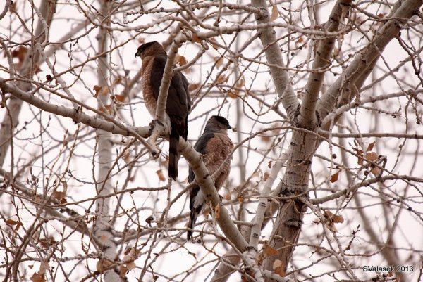 Coopers hawks, adult pair (photo by Steve Valasek)