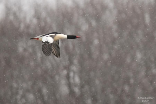 Male common merganser in flight (photo by Steve Gosser)