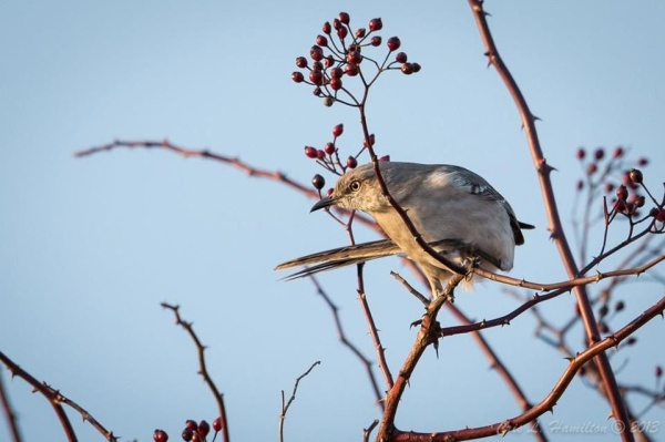 Northern Mockingbird (photo by Cris Hamilton)