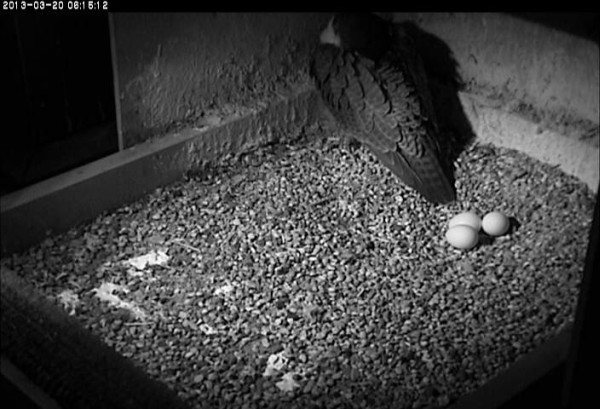 Dorothy roosts near her eggs, 20 March 2013 (photo from the National Aviary falconcam at Univ of Pittsburgh)