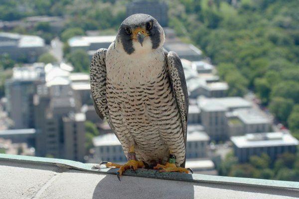 Peregrine falcon, Dorothy (photo by Jessica Cernic Freeman)