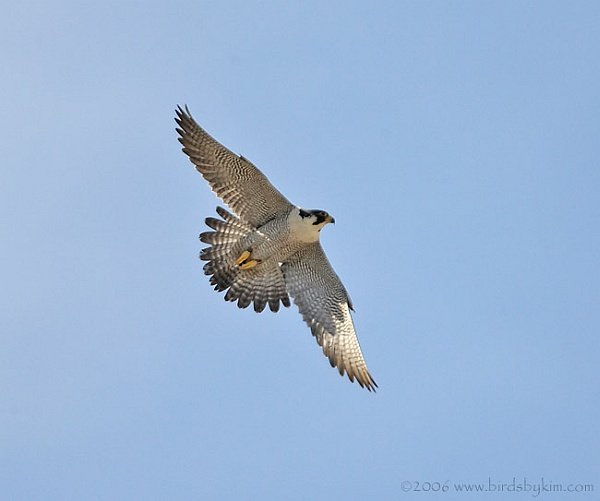 Peregrine in flight, Delaware (photo by Kim Steininger)