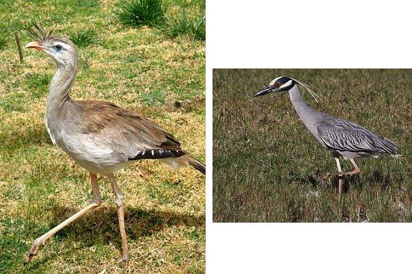 Red-legged Seriema (Wikimedia Commons), Yellow-crowned Night-heron (Chuck Tague)