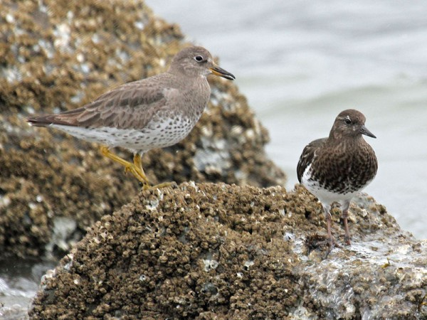 Surfbird and Black Turnstone (photo by Dick Daniels on Wikimedia Commons)