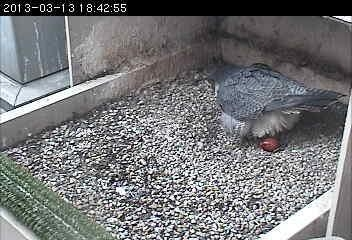 Dorothy lays her first egg of 2013, March 13, 6:42pm (photo from the snapshot camera at the Cathedral of Learning)