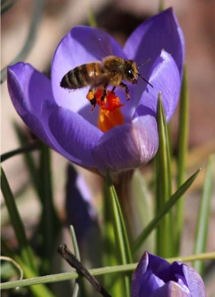 Crocus with honey bee (photo by Marcy Cunkelman)