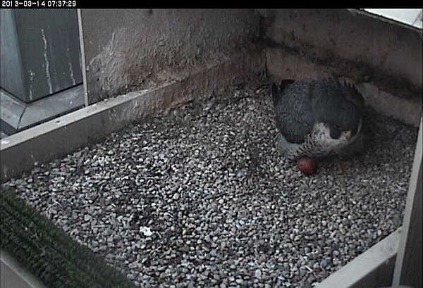 Dorothy with first egg, 14 March 2013 (photo from the National Aviary webcam at Pitt)