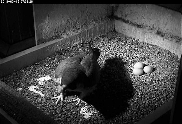 Dorothy with three eggs, 19 Mar 2013 (photo from the National Aviary falconcam at Univ of Pittsburgh)