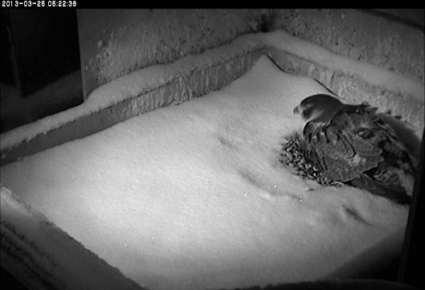 Dorothy shakes the snow off her head while she continues to incubate, 25 Mar 2013 (photo from the National Aviary falconcam at Univ of Pittsburgh)