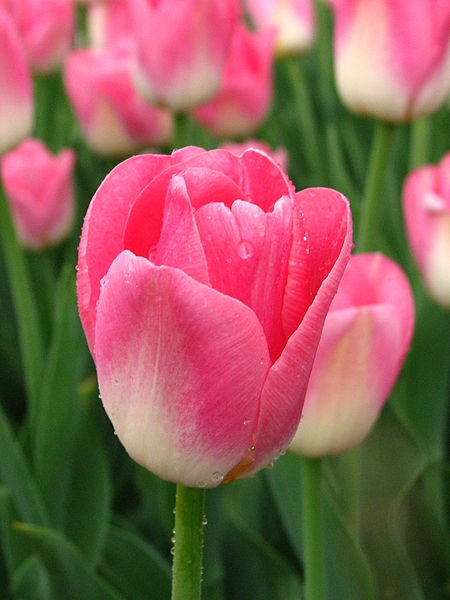 Tulips blooming in Moscow (photo rom Wikimedia Commons)