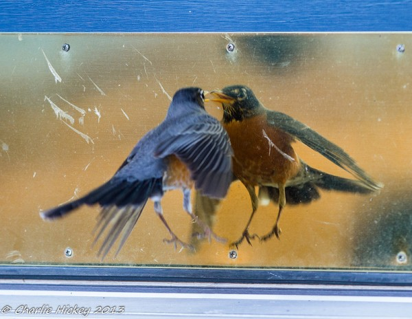 Robin fighting his reflection (photo by Charlie Hickey)