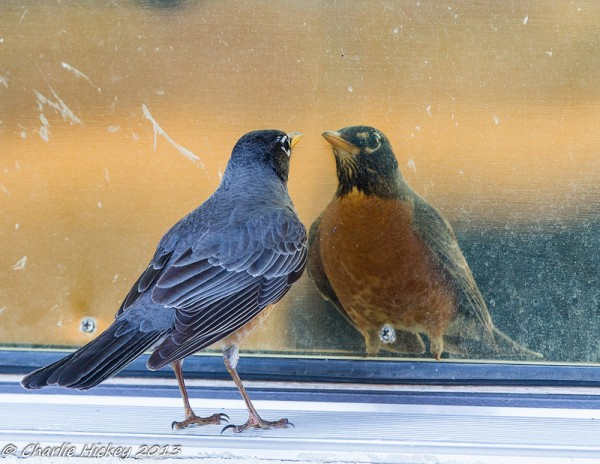 Robin staring down his reflection (photo by Charlie Hickey)