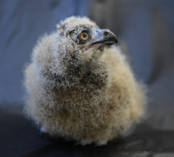 Eurasian Eagle Owl baby at the National Aviary (photo courtesy of the National Aviary)