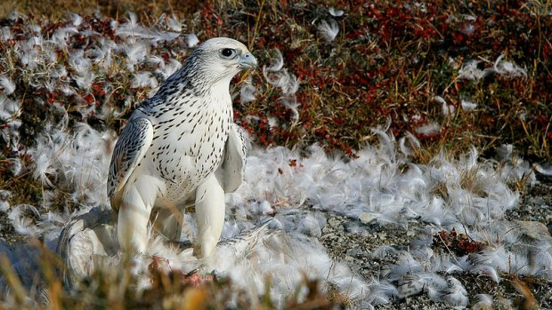 Gyrfalcon in western Greenland (photo form Wikimedia Commons)