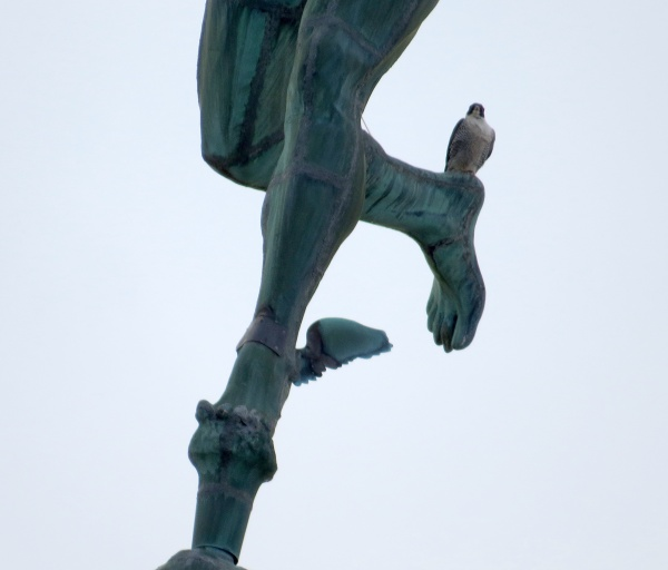 Peregrine, DotCa, on Mercury's heel, Rochester, NY (photo by Margaret Kurtz)