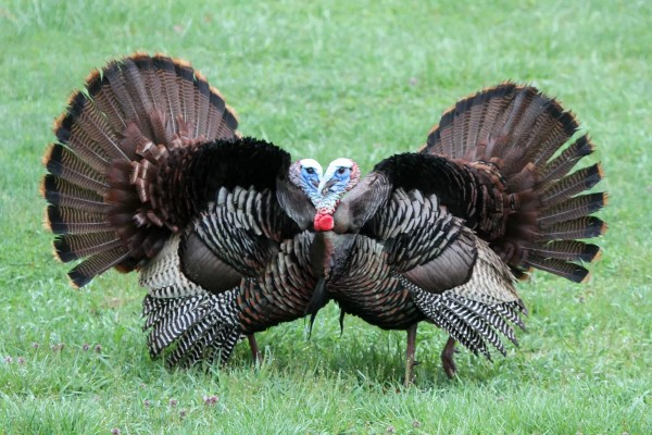Two male wild turkeys displaying (photo by Don Weiss)