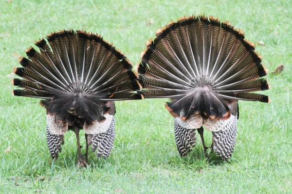 Two wild turkeys strutting their stuff for the ladies (photo by Don Weiss)