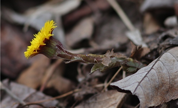 Coltsfoot blooming, from the side (photo by Marcy Cunkelman)