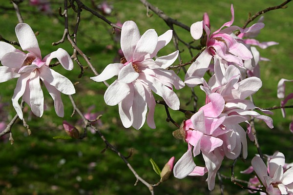 Star magnolia blooming (photo by Kate St. John)