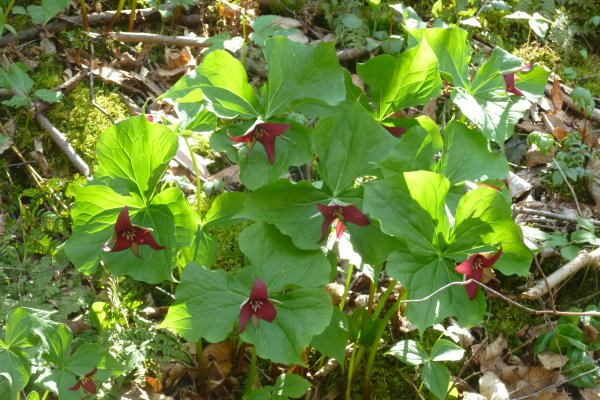 Red trillium or Wake-robin (photo by Dianne Machesney)