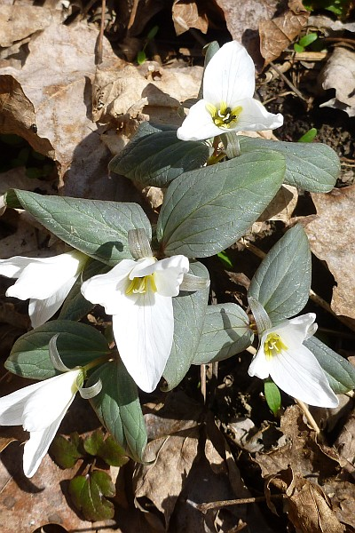 Snow Trillium at Cedar Creek Park (photo by Dianne Machesney)