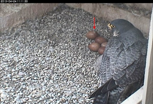 We have a 'pip' in one of the eggs (photo from the National Aviary falconcam at the University of Pittsburgh)