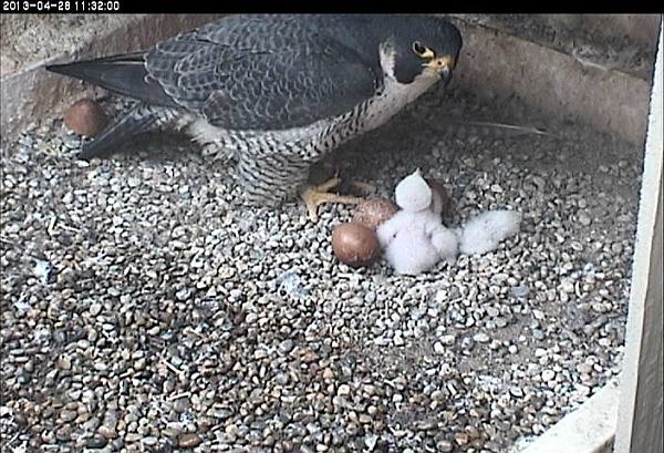 Dorothy, 1 chick, 3 eggs, 28 April 2013 (photo from the National Aviary falconcam at Univ of Pittsburgh)