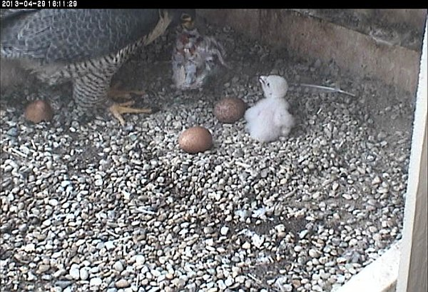 Dorothy brings baby's supper (photo from the National Aviary falconcam at Univ of Pittsburgh)