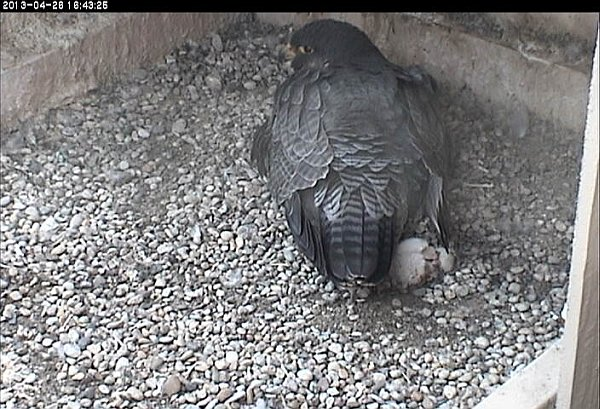 Chick#2 rolls in a ball out from under Dorothy (photo from the National Aviary falconcam at Univ of Pittsburgh)