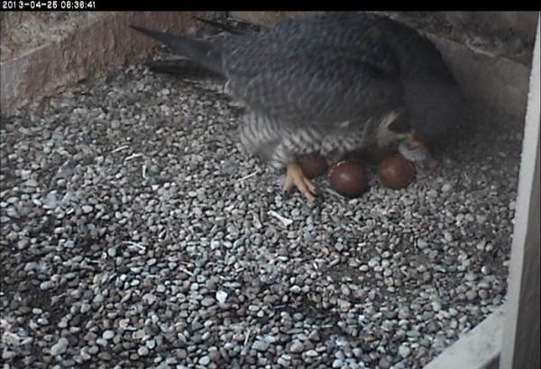 First hatchling just visible among the eggs (photo from the National Aviary falconcam at Univ of Pittsburgh)