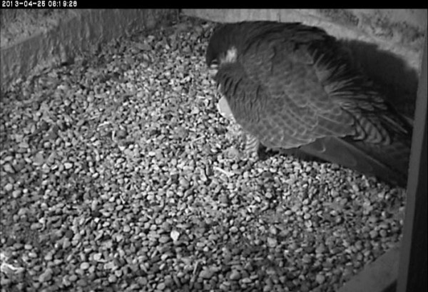 Is Dorothy looking at a cracked shell? (photo from the National Aviary falconcam at Univ of Pittsburgh
