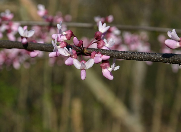 Redbud flowers open, late April 2013 (photo by Kate St.John)