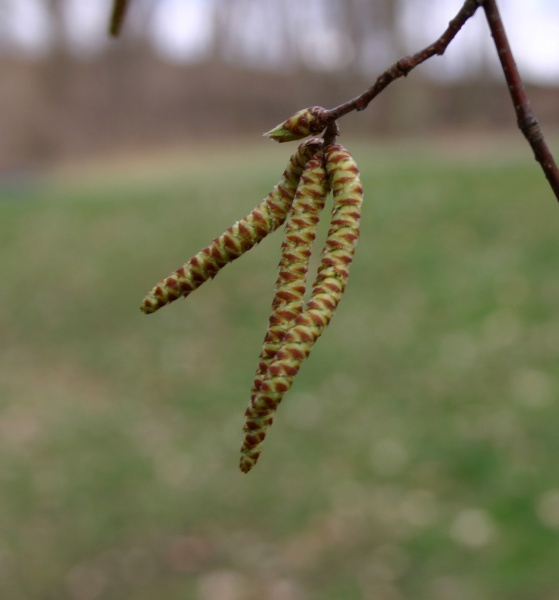 Catkins that look like caterpillars (photo by Kate St. John)