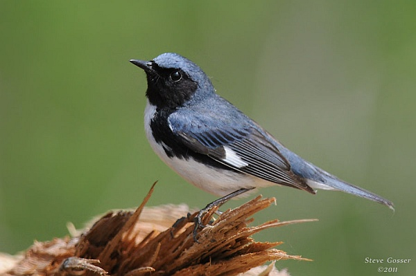 Black-throated blue warbler (photo by Steve Gosser)