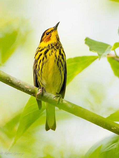 Cape May warbler (photo by Bobby Greene)