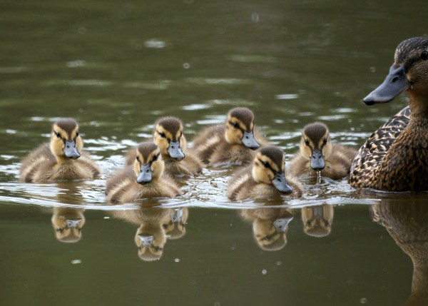 Mallard with ducklings (photo from Wikimedia Commons)