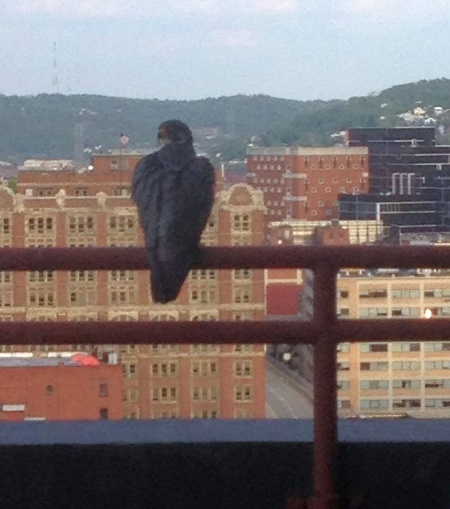 Peregrine on the balcony (photo by Matthew Richardson)