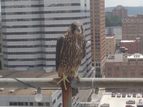Rescued peregrine waits for Mom & Dad to feed him Downtown, 30 May 2013 (photo by Amanda McGuire)