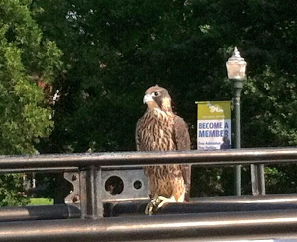 Fledgling Peregrine from Downtown on car roof  (photo by Ericka Houck))