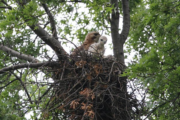 Red-tailed hawk family, Schenley Park, 2013 (photo by Gregg Diskin)