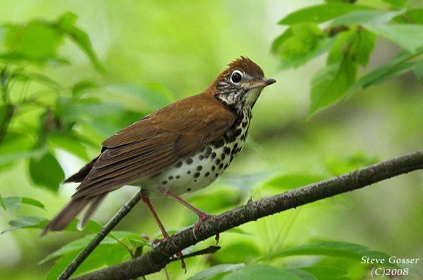 Wood Thrush (photo by Steve Gosser, 2008)