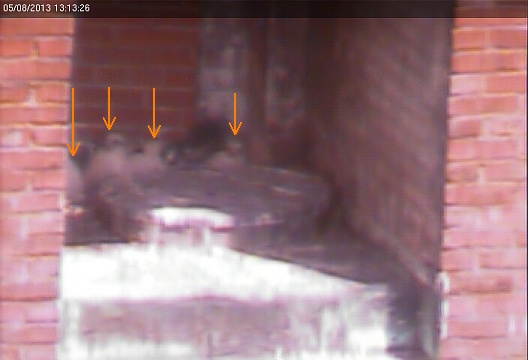 Possibly four chicks visible, Downtown nest (photo from the National Aviary falconcam at Point Park University)