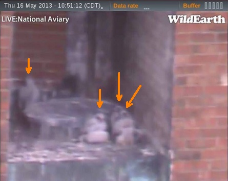 Four chicks at the Downtown peregrine nest  (photo from the National Aviary falconcam at Point Park University)