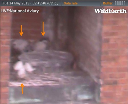 Three peregrine chicks visible at the Downtown Pittsburgh nest (photo from the National Aviary falconcam at Point Park University)