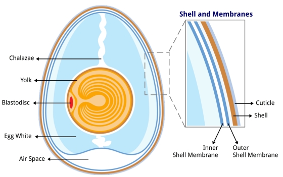 Anatomy of an egg (illustration from Wikimedia Commons)