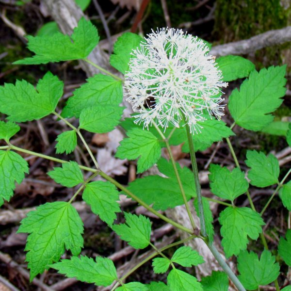 White Baneberry blooming (photo from Wikimedia Commons)